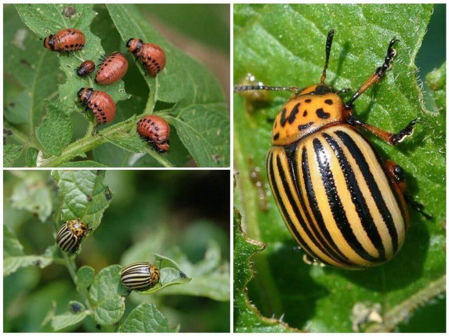 Как просто и быстро избавиться от колорадского жука