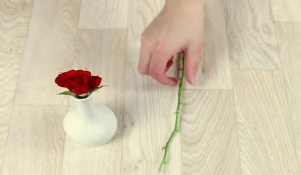 Как вырастить срезанную розу дома с помощью обычного картофеля