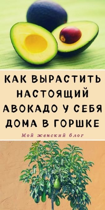 Как вырастить настоящий авокадо у себя дома в горшке