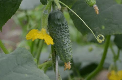 Удачные сорта огурцов, которые будут плодоносить весь сезон