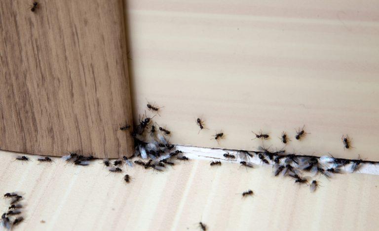 Как прогнать муравьёв из дома простым натуральным способом