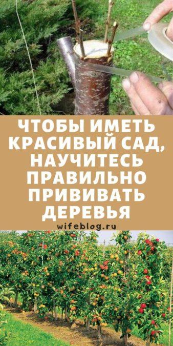 Чтобы иметь красивый сад, научитесь правильно прививать деревья