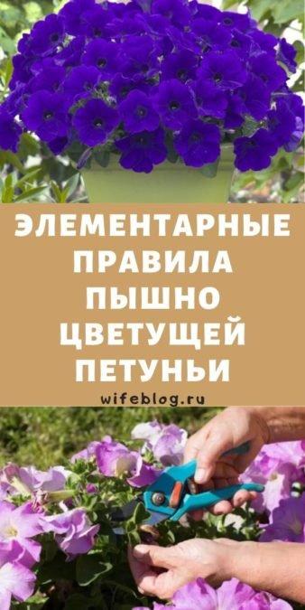 Элементарные правила пышно цветущей петуньи