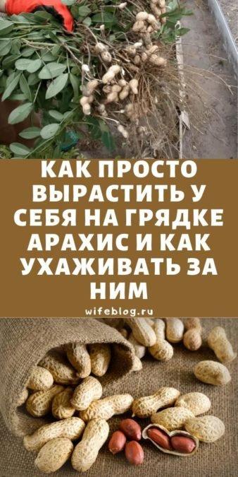 Как просто вырастить у себя на грядке арахис и как ухаживать за ним