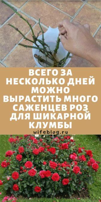 Всего за несколько дней можно вырастить много саженцев роз для шикарной клумбы