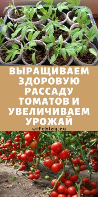 Выращиваем здоровую рассаду томатов и увеличиваем урожай