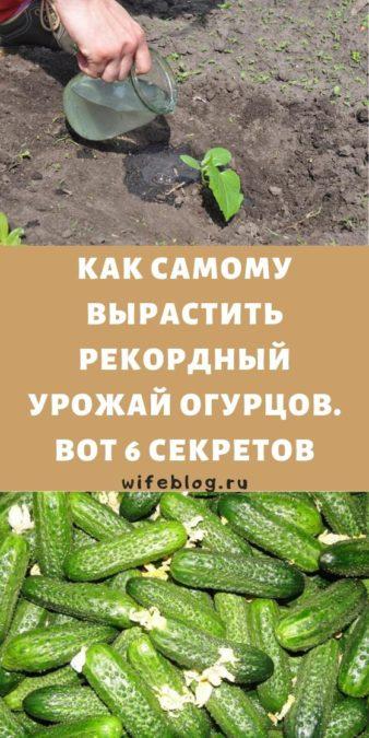 Как самому вырастить рекордный урожай огурцов. Вот 6 секретов